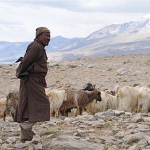 La chèvre pashmina vit dans l'Himalaya à plus de 4500m d'altitude.